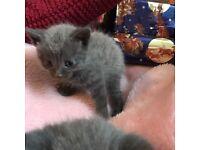 Blue /black kittens for sale