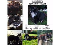 Lost black & white female cat