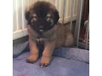 Caucasian Ovcharka Puppies Male and Female