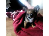 handsome Chihuahua needs rehoming