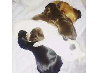 Beautiful Cocker Spaniel KC Pups for Sale