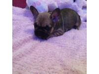 French bulldog puppies, ready now