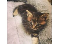 Beautiful tabby kitten , ready for new home