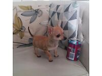 T CUP FEMALE CHIHUAHUA SMOOTHCOAT