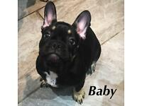 Quality French bulldog puppy * REDUCED*