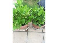 Hydrangea - Two plants - patio and garden
