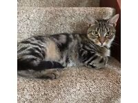 Lovely Little Female Tabby - Free to a good home
