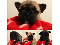 Beautiful French Bulldog Puppies - KC Registered/Health Checked