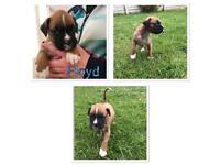 *Stunning KC REG Boxer Puppies*