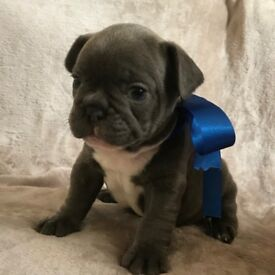 **READY NOW** KC REGISTEED BLUE FRENCH BULLDOGS FOR SALE
