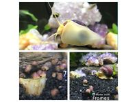 PURPLE/PINK YELLOW MYSTERY SNAILS YOUNG GOLDEN TROPICAL FISH AQUARIUM PEPPERMINT