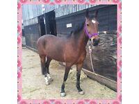 Thoroughbred mare 15.1/2