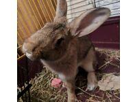 Spayed Female Rabbit with Set-up