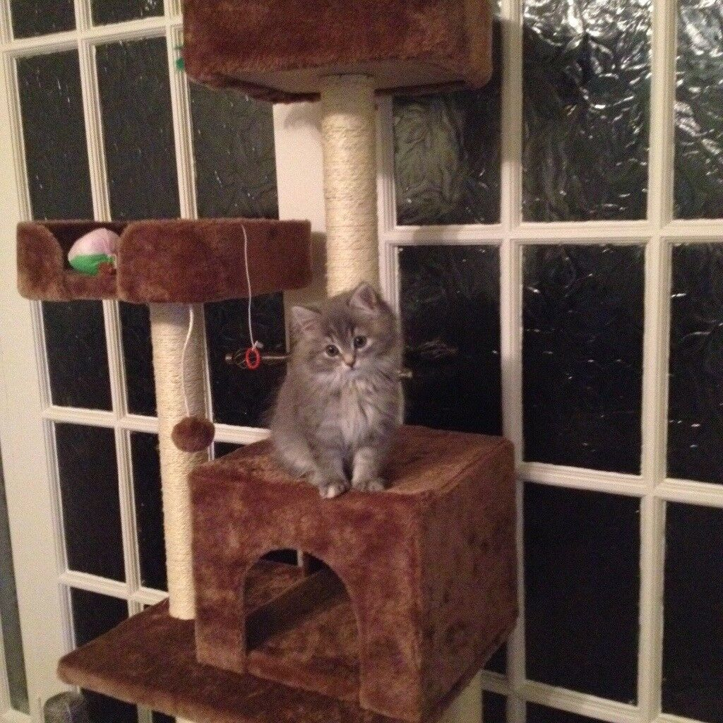 Stunning Silver Grey & White Female Kitten