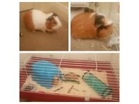 2 Female 6 month old Guinea Pigs and Cage etc