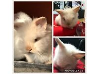 Mini Lop Lion Head rabbit