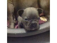 Blue KC reg French bulldog puppies