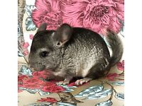 3 Baby Chinchillas MALE AND FEMALE.