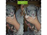 Blue kc reg staff pups