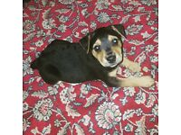 8 week old male Jack Russel Rotti cross. Crate, toys and bowls