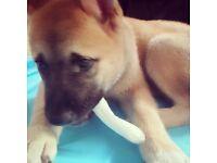 Gorgeous male Akita puppy
