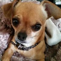 LOOKING FOR A MALE CHIHUAHUA PUPPY