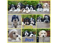 Health tested PRA & FN clear Cockapoo Puppies