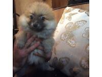Pomeranian Puppie for sale