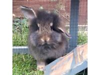 Friendly lionhead male
