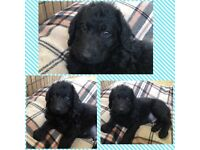 READY Now! Outstanding F1 Labradoodle Puppies!!!