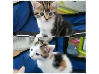 Kittens - Only 2 Left