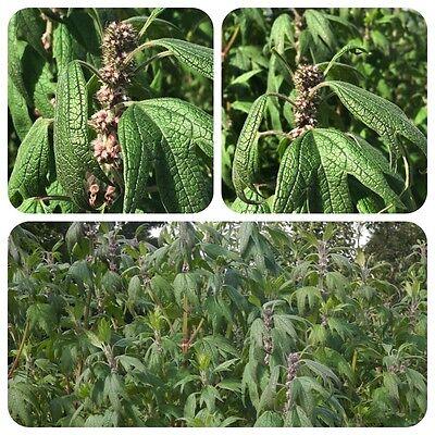 Herzgespann Leonurus cardiaca Löwenschwanz Teepflanze Heilpflanze Hummelpflanze