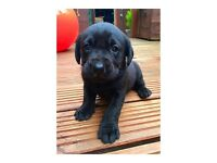Black Labrador puppies for litter of seven two girls left