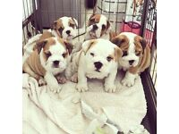 BULLDOG PUPPIES FOR SALE READY NOW!