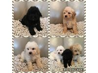 Cavipoo puppies for sale.