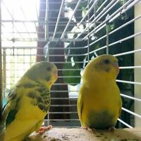 Two Budgies plus a big cage 40 $