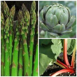 perennial vegetable collection asparagus artichoke rhubarb 10 seeds of each