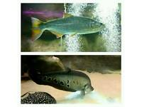 Tropical freshwater fish dorado and clown knife