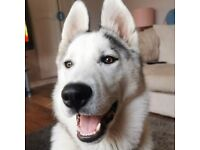 Gorgeous 7mth old male Husky