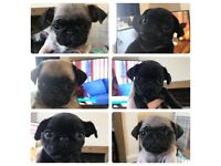 6 pug puppies for sale