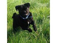 Male black pug 6 months old