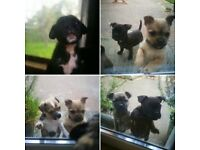 Bussell puppies... (boston/pug X jack russell) Boys & Girls. Ready Now.