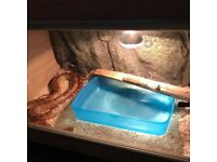 Friendly Adult Corn Snake with full set up