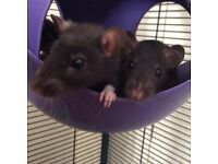 All 3 Female Rats (sisters) for £15