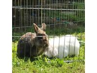 Rabbits for rehoming with large hutch and run