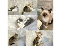 Beautiful Bengal cross kittens available 8 weeks old