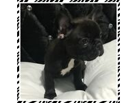 **READY NOW** KC Reg French Bulldogs carrying blue, cream and possibly chocolate