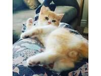 Persian x exotic doll faced kitten