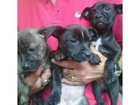 Beautiful staff puppies