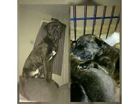 Rehoming 8 month old rotweilerxcane corso